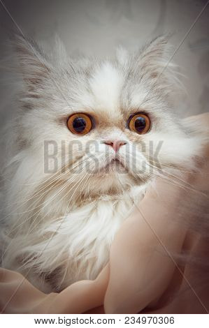Portrait Of White Persian Cat Close Up