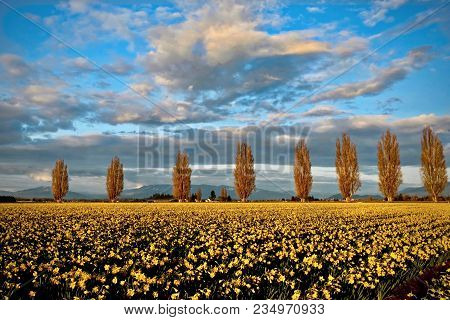 Scenic View Of Trees On Daffodil Fields. Tulip Festival Near Seattle And Mount Vernon.  Washington.
