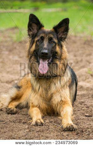 Portrait Of German Shepherd Dog Close Up