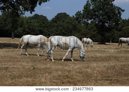 Beautiful White Lipizzaner Horses On The Pasture