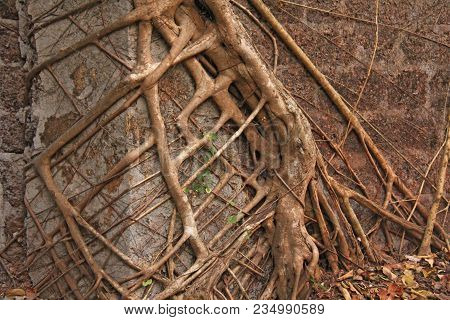 The Roots Of The Trees Grow Through The Walls. The Roots Seized The Building. Redi Fort, India, Goa.