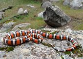 California Mountain King Snake (Kingsnake), a bright red, black, and white snake that mimics the dangerous coral snake poster