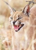 A portrait of a hissing caracal in Namibia poster