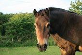 Exmoor Pony in Cornwall when the Sun is setting poster