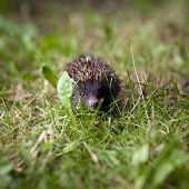 Baby European Hedgehog (Erinaceus europaeus) sniffing in grass, exploring the natural world poster