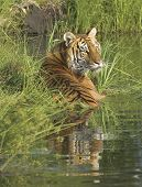 Bengal tigress lying in water to cool. Telephoto shot poster