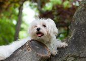 A cute maltese puppy sitting in a tree. poster