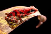 red strawberry poison dart frog Panama rain forest on the Island Bastimentos, Bocas del Toro. A macro of a poisonous tropical rainforest animal, Oophaga pumilio. poster