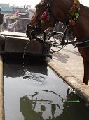 A horse spitting water into a trough after drinking from it - A scene from Lucknow Uttar Pradesh India poster