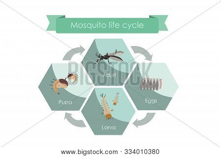 Life Cycle Of Mosquitoes From Egg To Adult. Display Chart Showing Life Cycle Of Mosquito.