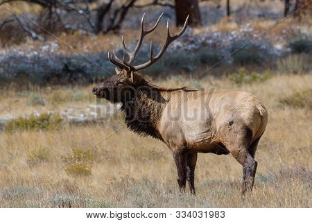 Profile Of A Bull Elk. Wild Elk In The Rocky Mountains Of Colorado