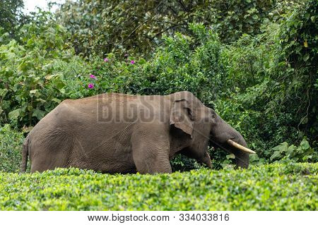 Asian Elephant Eating In A Tea Plantation In Munnar, India