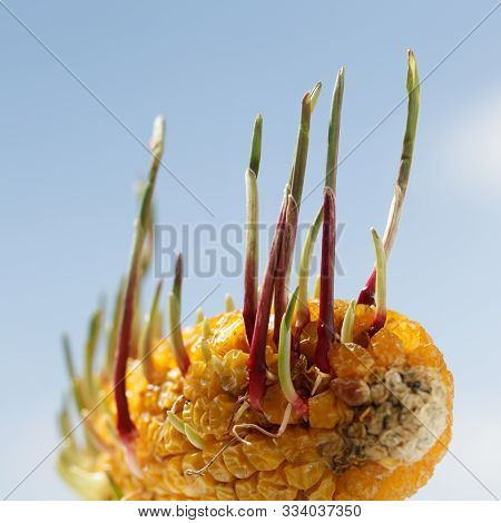 Closeup Of Green Germinants Growing From Corncob On Farm Field In Spring, Revival And Regeneration C