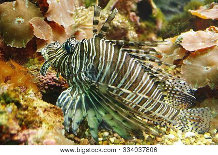 Beautiful Spotfin Lion (pterois Antennata), Also Known As The Broadbarred Firefish In Their Habitat