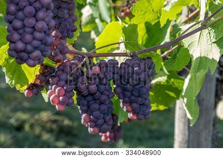 Red Wine Grape Pinot Gris In A Vineyard In Brauneberg On The Moselle