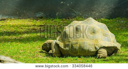 Aldabra Giant Tortoise, Largest Land Turtle Specie In The World, Tropical Turtle Specie From Madagas