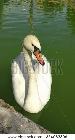 Lonely Swan On Lake Water Surface. Two White Swans On A Lake. Swan On The Lake Close Up. White Swan