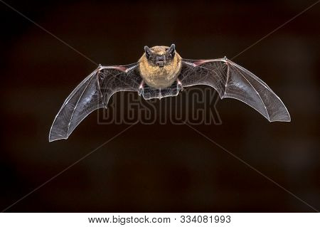 Pipistrelle Bat (pipistrellus Pipistrellus) Flying On Attic Of House In Front Of Brick Wall In Darkn