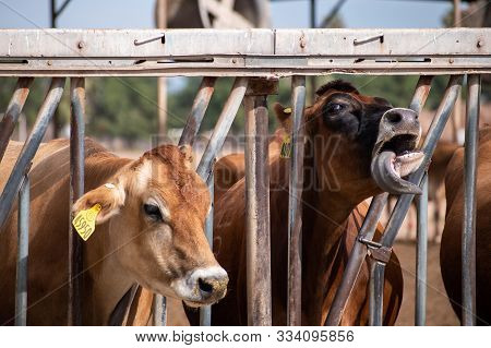 Portrait Of Two Cows, One Making A Funny Face