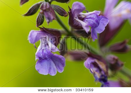 Borago officinalis is a great medicinal plant that is commonly known as borage plant or borage herb