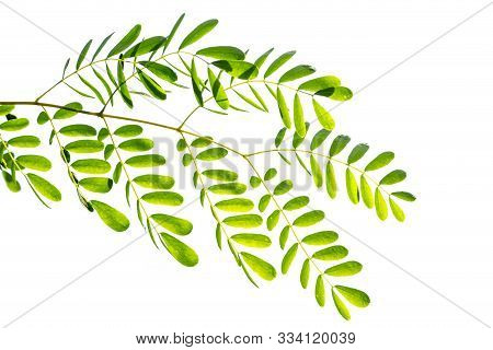Acacia Leaves Isolated On White Background. Green Leaves Of Acacia Tree.