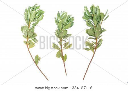 Green Thunberg Barberry Kornik Tree Branch Isolated On White Background.
