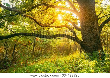 Beautiful Sunset Sunrise Sun Sunshine In Sunny Autumn Oak Forest. Sunlight Sunbeams Through Woods Tr