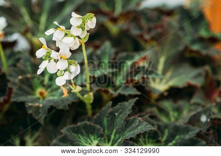 Green Leaves And Flower Of Plant Begonia Rex Putz, Commonly Known As King Begonia, Rex Begonia, Is A