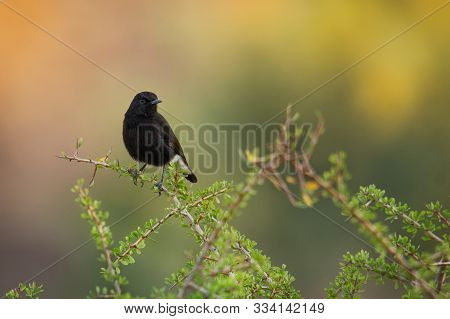 Black Wheatear - Oenanthe Leucura Small Passerine Black Bird With White Parts, Old World Flycatcher