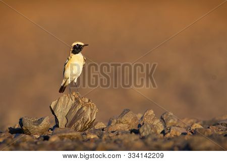 Desert Wheatear - Oenanthe Deserti Songbird Breeding In The Sahara And The Northern Arabian Peninsul
