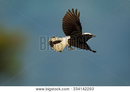 White-crowned Wheatear - Oenanthe Leucopyga Black And White Bird Breeds In Stony Deserts From The Sa