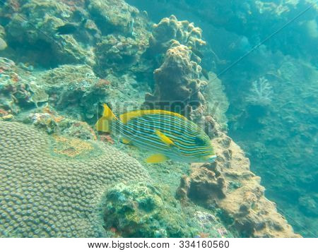 A Lined Sweetlips On The Liberty Wreck At Tulamben On The Island Of Bali