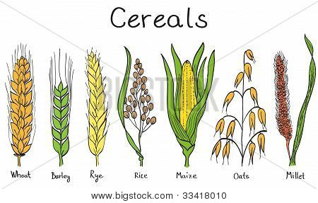 Cereals hand-drawn illustration