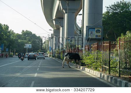 New Delhi, India - November 17, 2019: Cow Enjoying A Meal In The Median Of A Busy Street In New Delh