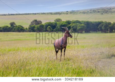 Beautiful herbivore - Antelope Roan. The famous Masai Mara Reserve in Kenya. Africa. The concept of ecological, exotic and photo tourism