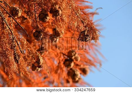 Cones Of Bald Cypress (taxodium Distichum) With Red Autumn Foliage