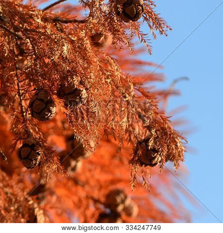 Red Cypress Cones On Blue Sky Background