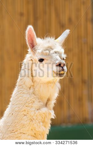 Close-up Portrait Of The Cute Furry Alpaca.