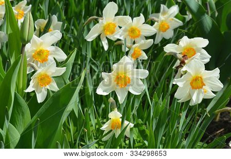 Narcissus Flowers Flower Bed With Drift Yellow. White Double Daffodil Flowers Narcissi Daffodils. Na