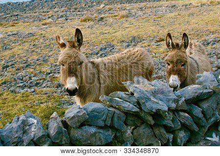 Donkeys In Pasture With Rock Wall, Inishmore, Aran Islands, Ireland
