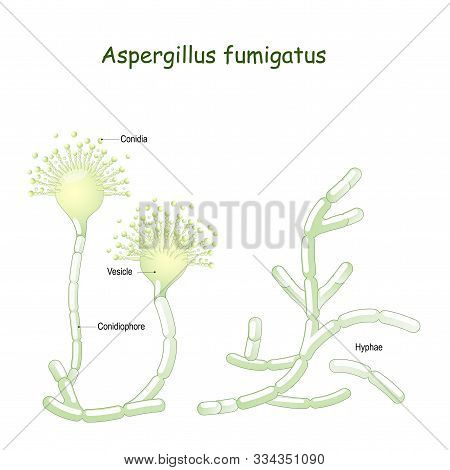 Aspergillus Fumigatus Is  A Type Of Fungus Causes Aspergillosis (invasive Fungal Infection In The Lu