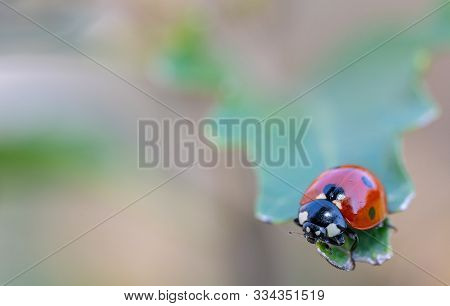 Small Insects In Macro Photography. Coccinellidae.small Insects In Macro Photography. Coccinellidae