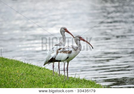 Egrets By Pond