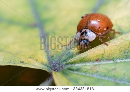 Coccinellidae Sits On A Leaf Of A Tree.coccinellidae Sits On A Leaf Of A Tree