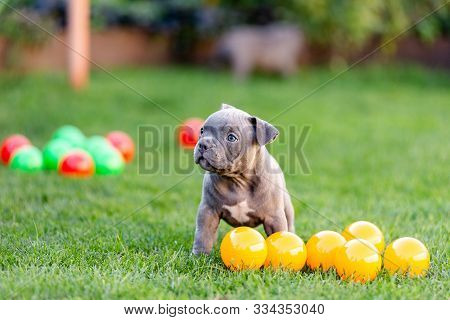 Little American Bulli Puppy Walks On The Grass In The Park.