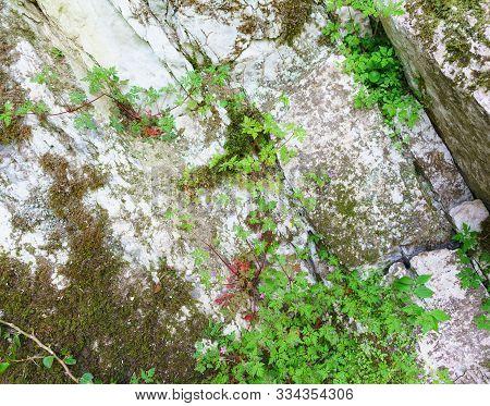 Roberts Geranium (lat. Geranium Robertianum) Grows On Mossy Rock In A Yew-box Grove. Hosta, Sochi, K