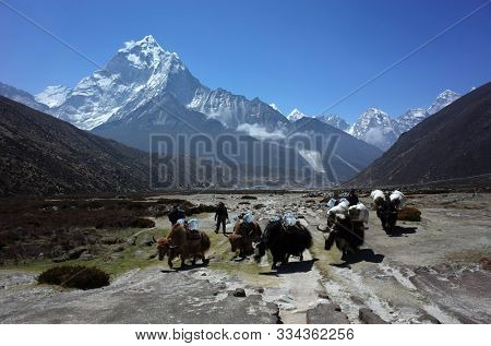 Sagarmatha national park, Nepal - May 24, 2019: Everest trek. Yak caravan carrying loads near Pheriche. View of Ama Dablam (6856 m) in Himalayas mountains
