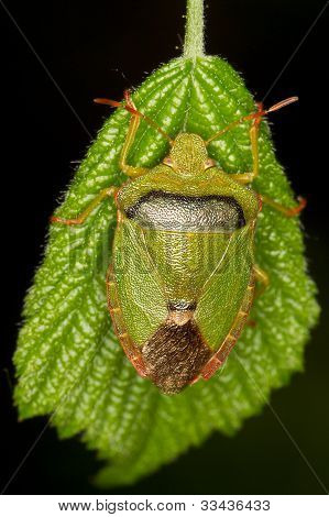 Palomena prasina / Common Green Shield Bug on a green leaf - close up