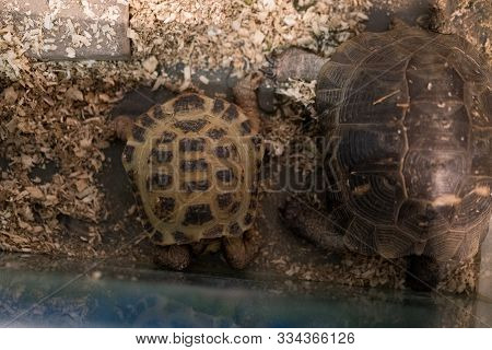 Turtle Hid In Armor While Sitting On Sawdust.turtle Hid In Armor While Sitting On Sawdust