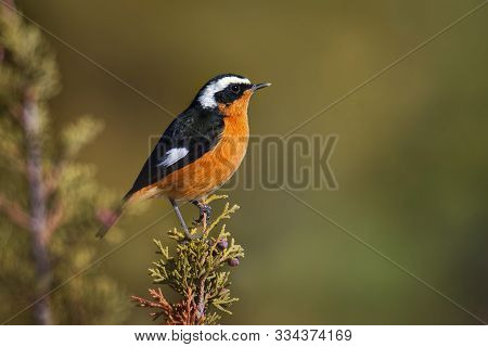 Phoenicurus moussieri - Moussier redstart small passerine bird in Phoenicurus, classified as Muscica